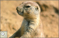 Photo black tailed prairie dog