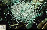 Orb Web of Epeirotypus
